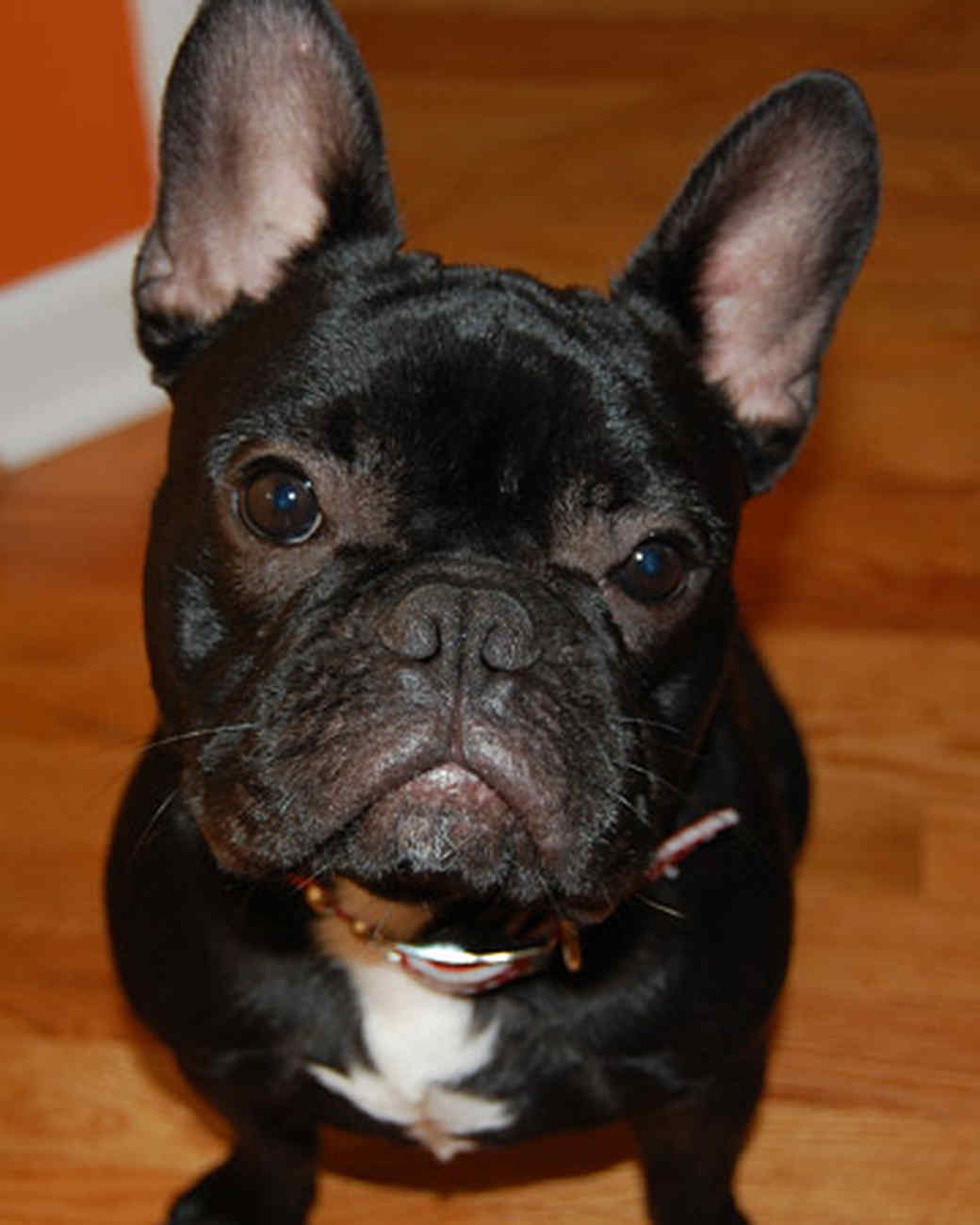 pets_frenchies_ori00087709.jpg