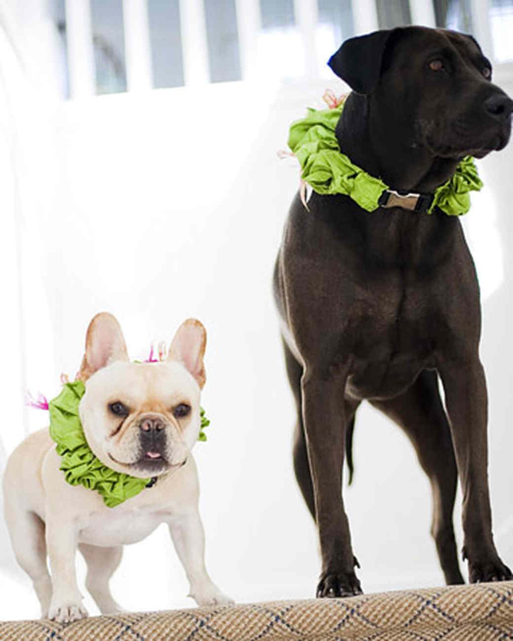 pets_frenchies_ori00089922.jpg