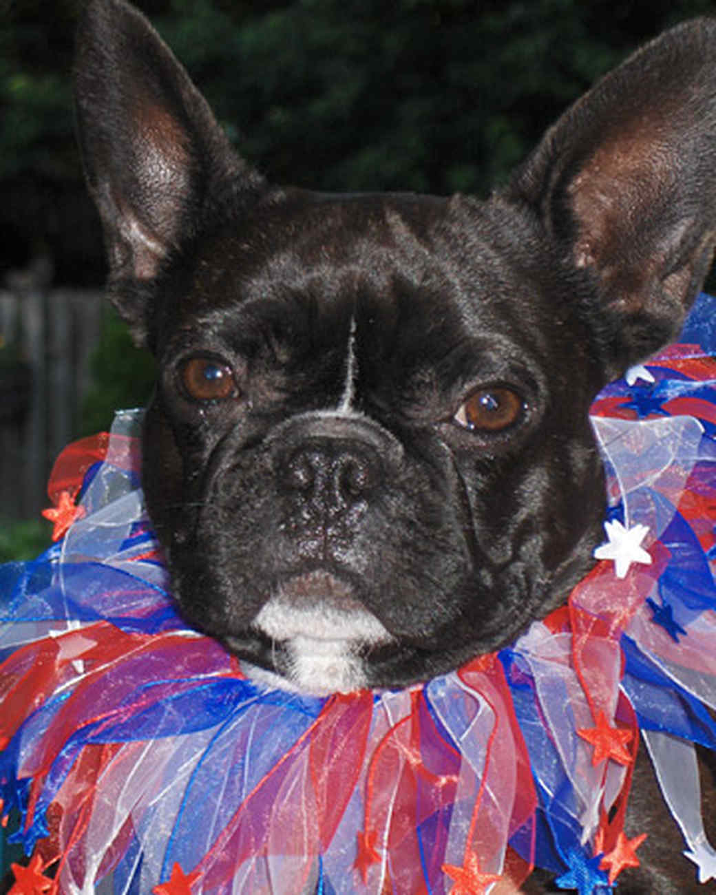pets_frenchies_ori00093467.jpg