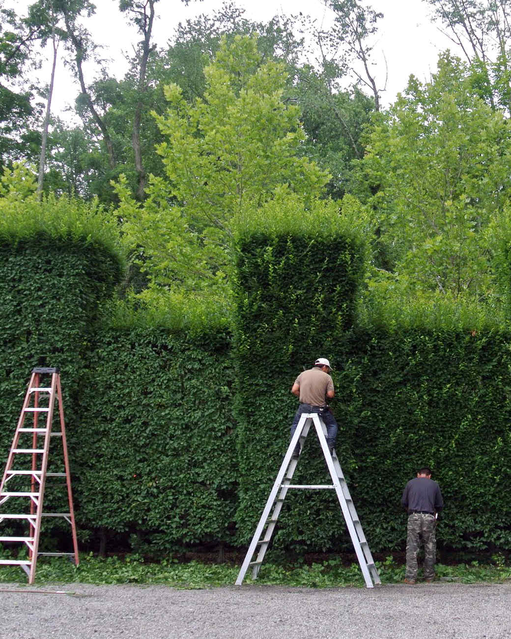 pruning-hornbeam-hedges-01.jpg
