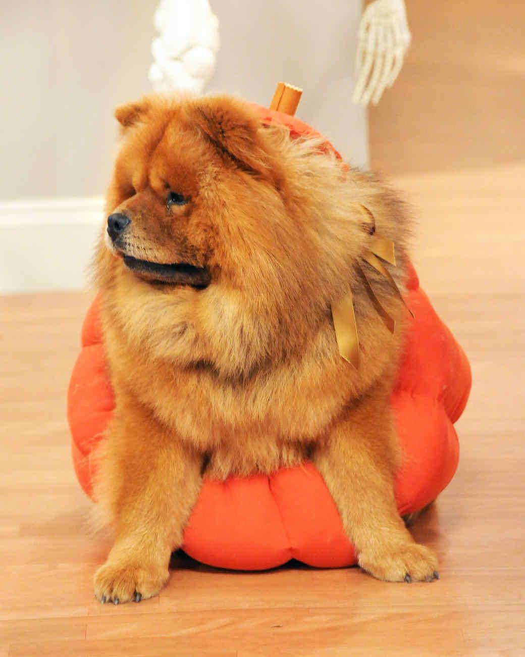 Pumpkin Pet Costume & Pumpkin Pet Costume u0026 Video | Martha Stewart