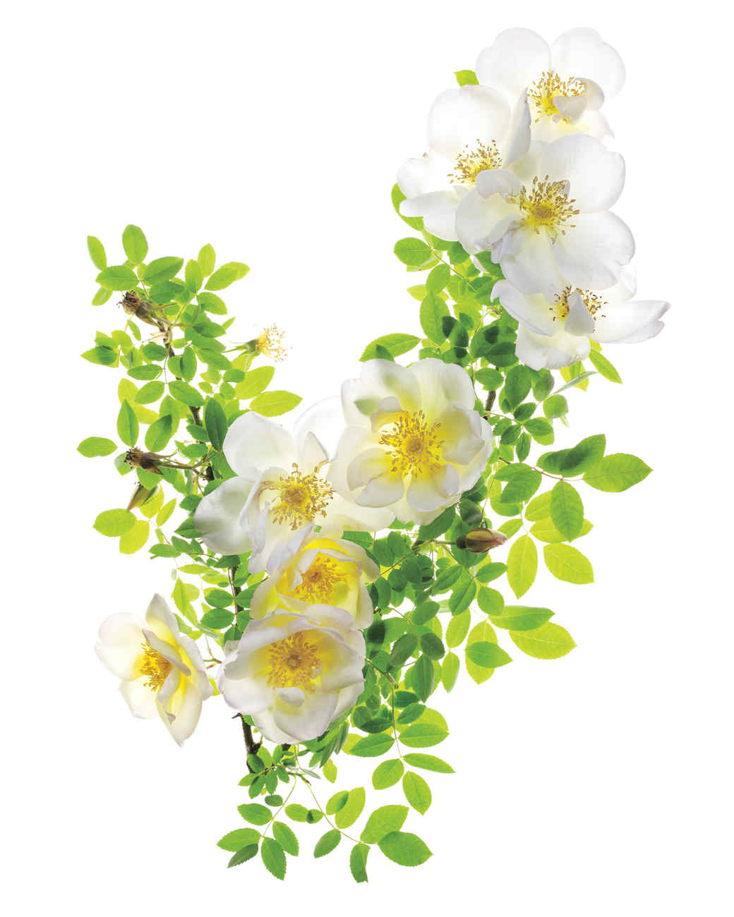 fruhlingsgold-rose-ms108508.jpg