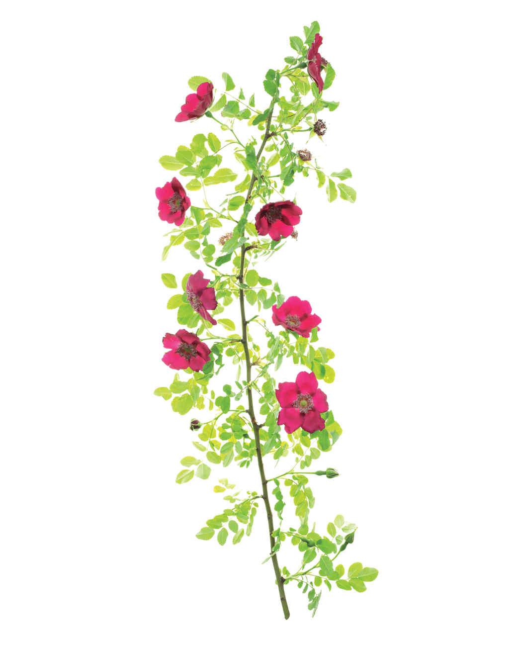 highdownensis-rose-ms108508.jpg