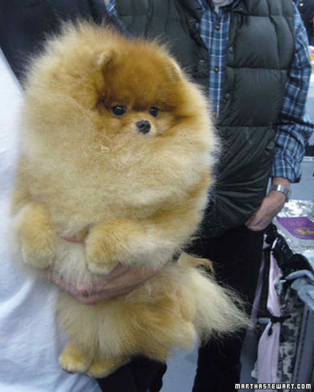 st_best_of_breed_pomeranian.jpg