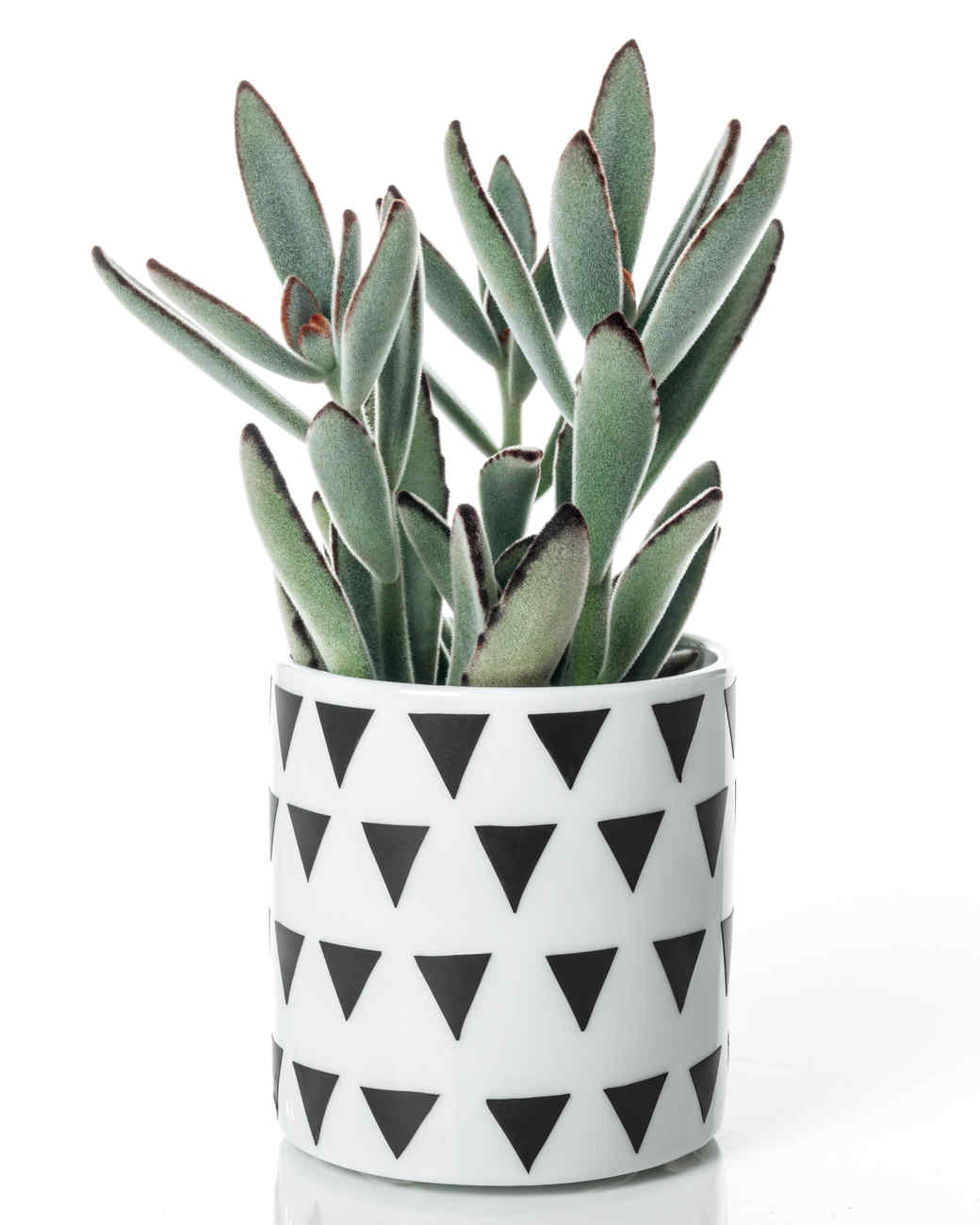 panda plant succulent in container with triangle pattern