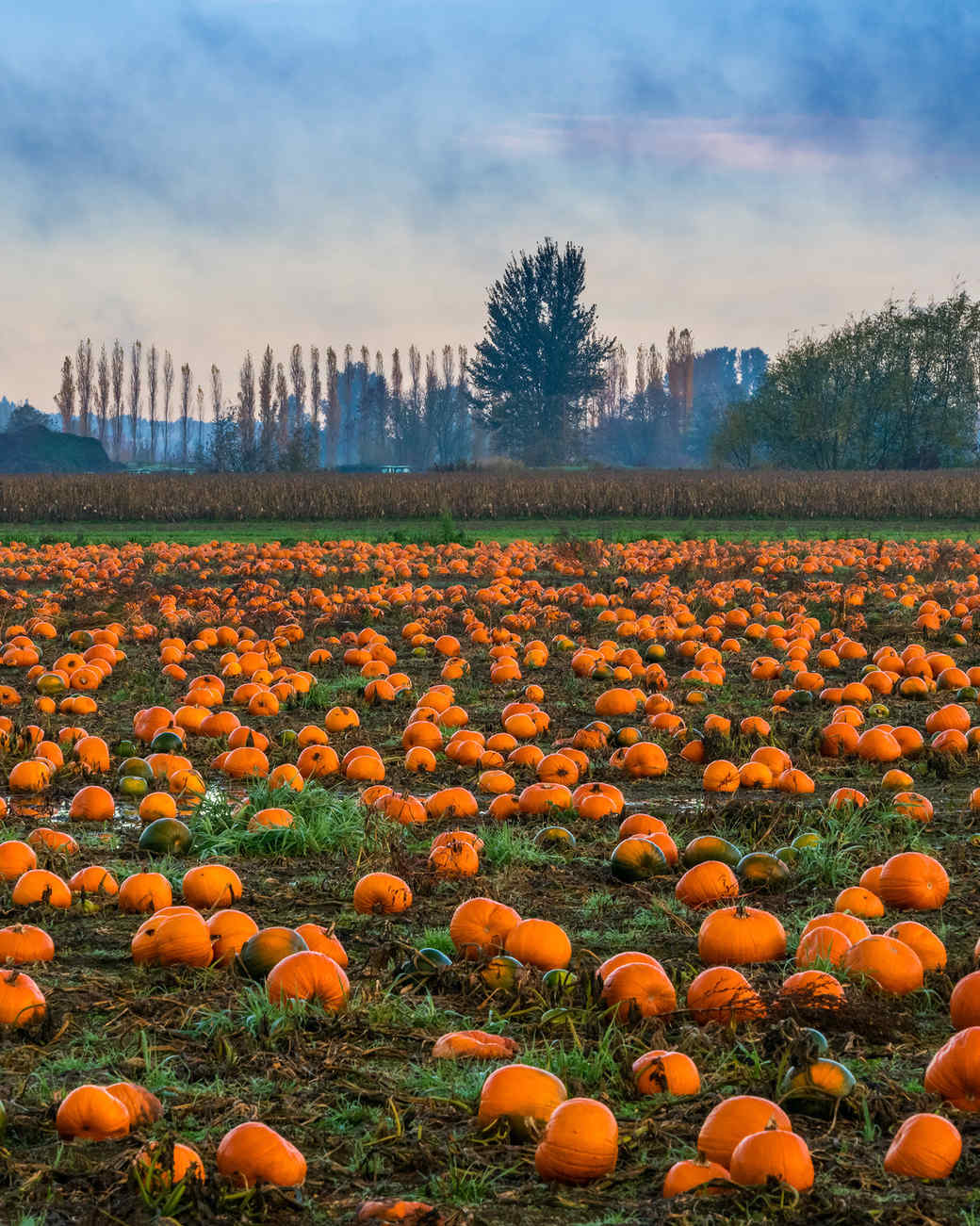 pumpkin patch field
