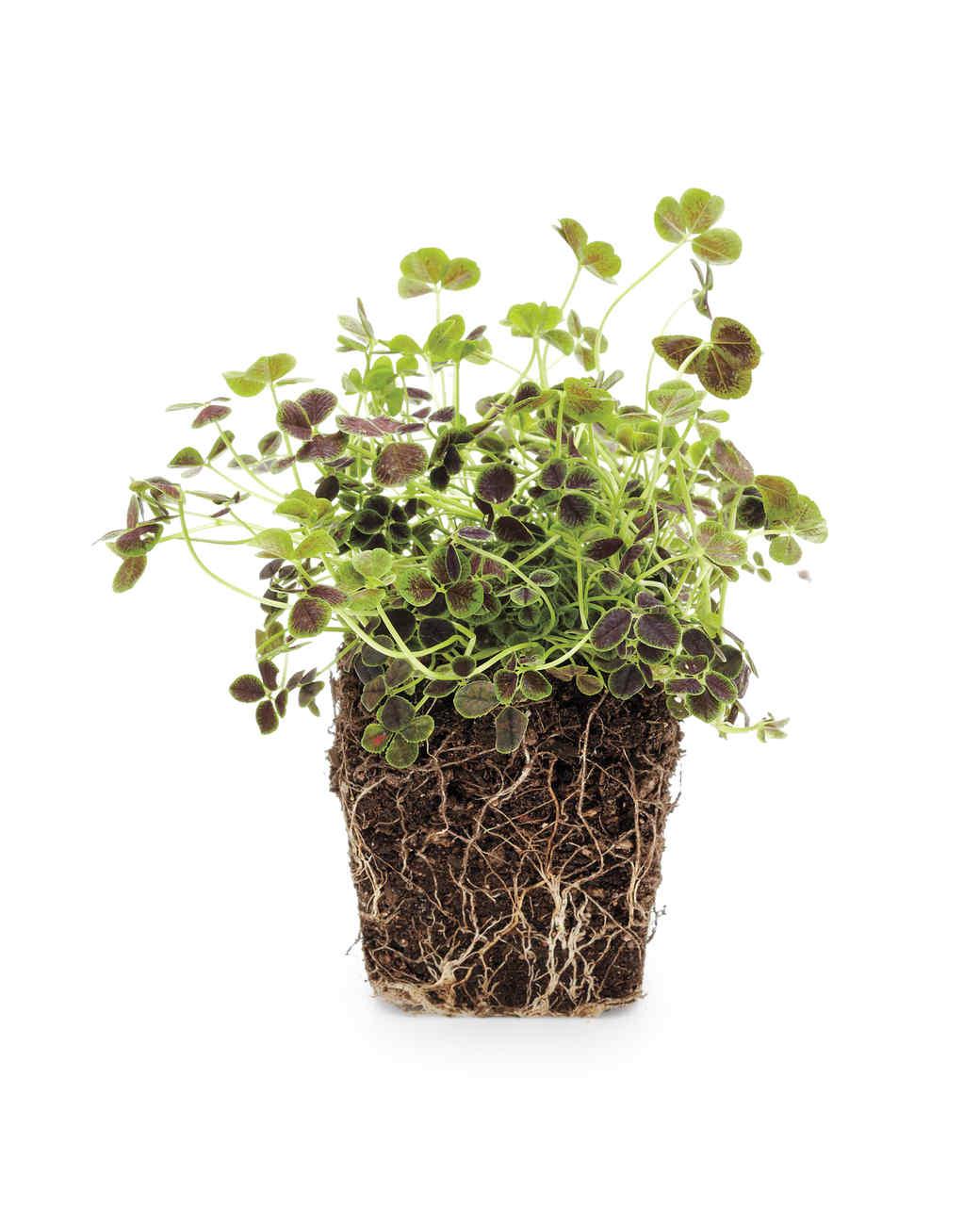 bronze-dutch-clover-mld108562.jpg
