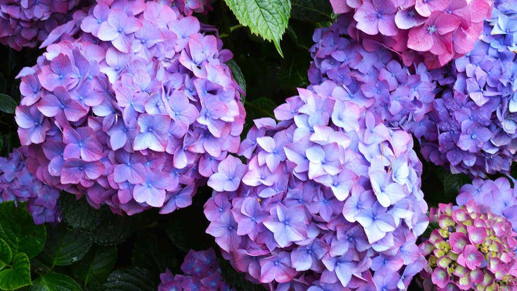 Pinkish-Blue Hydrangea Blooms