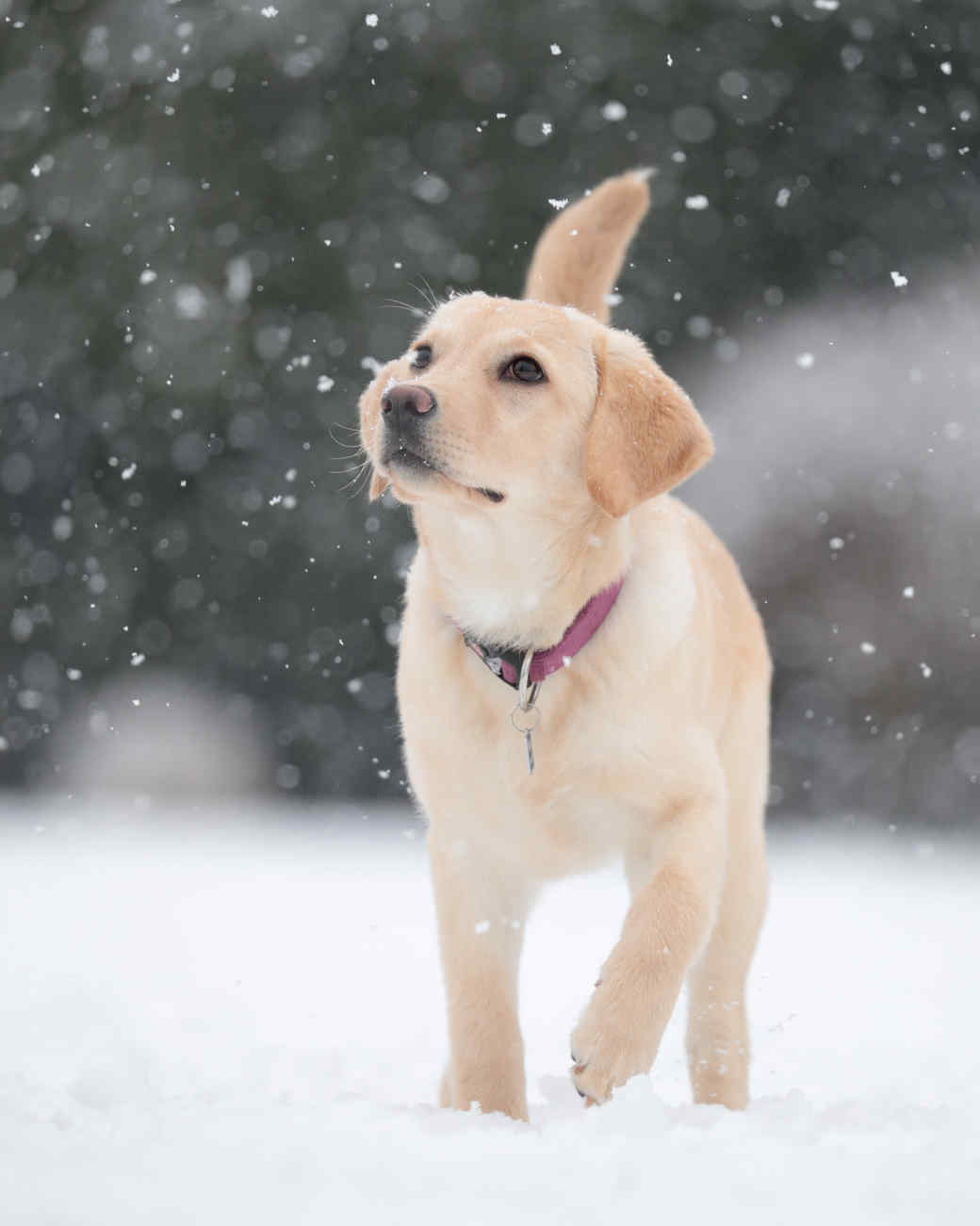 Labrador Outside in Snow