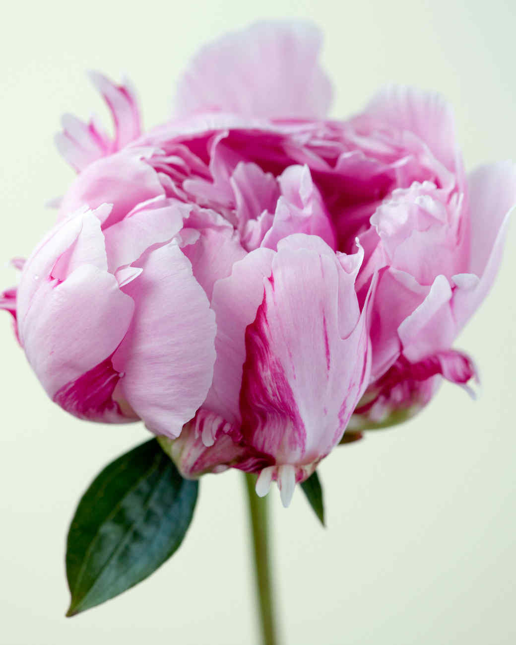 a peony flower against a white background