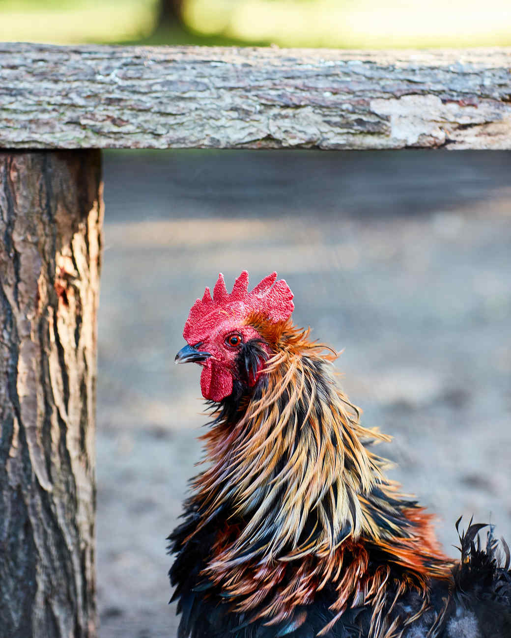 red headed colorful chicken by log