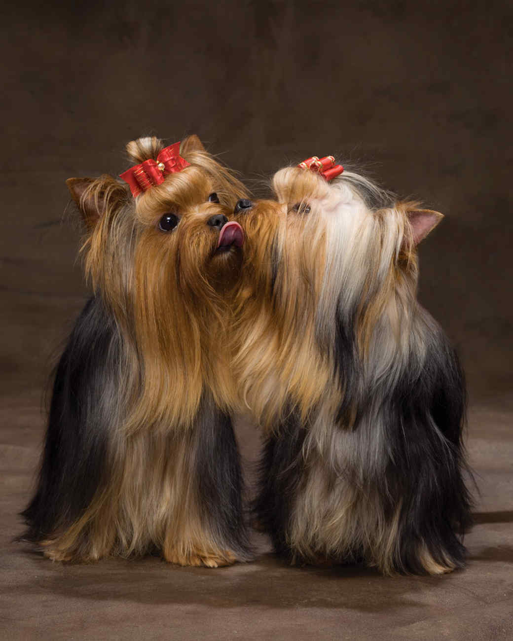 md105724_1110_yorkshireterrier.jpg