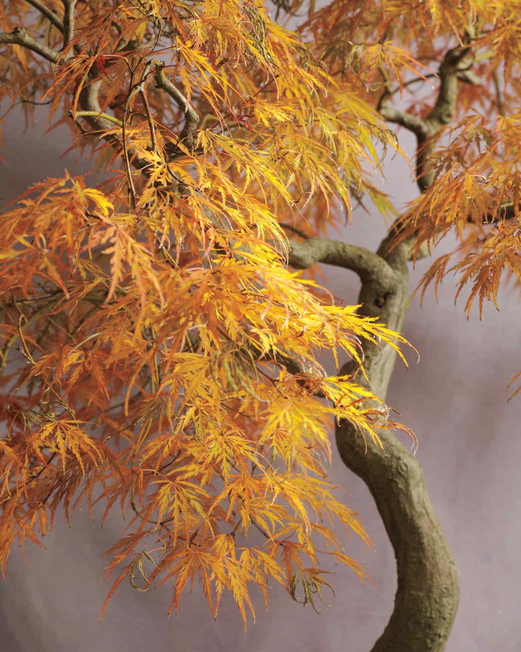 bonsai-japanese-maple-mld108122.jpg