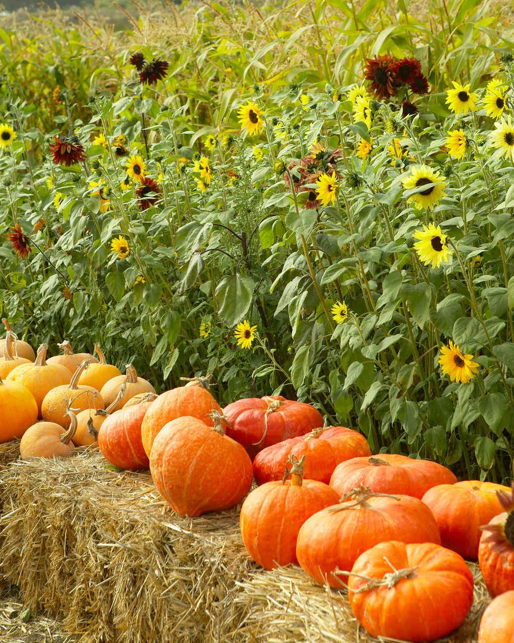 pumpkins placed on hay bales along flower field