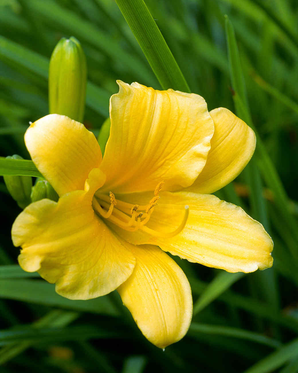 yellow daylily in grass