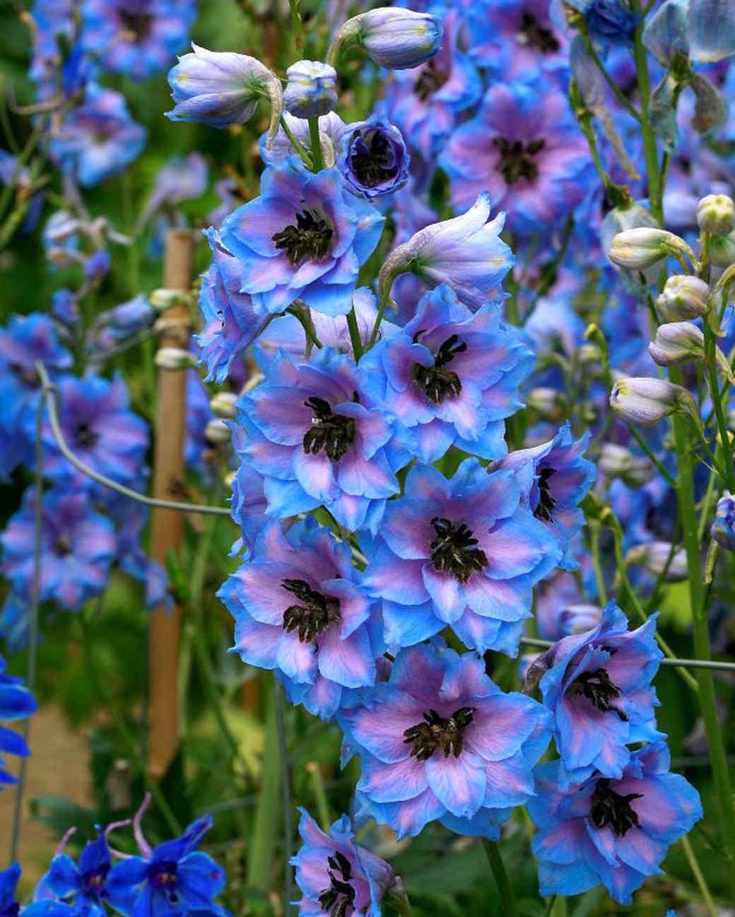 larkspur delphinium flowers