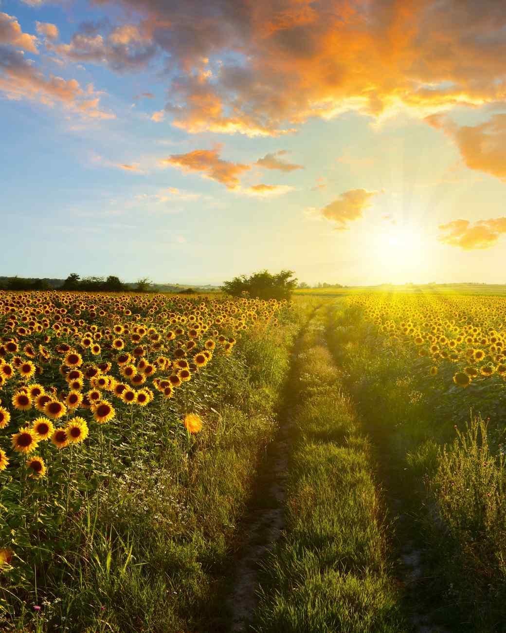 sunflower fields in Sussex County, New Jersey