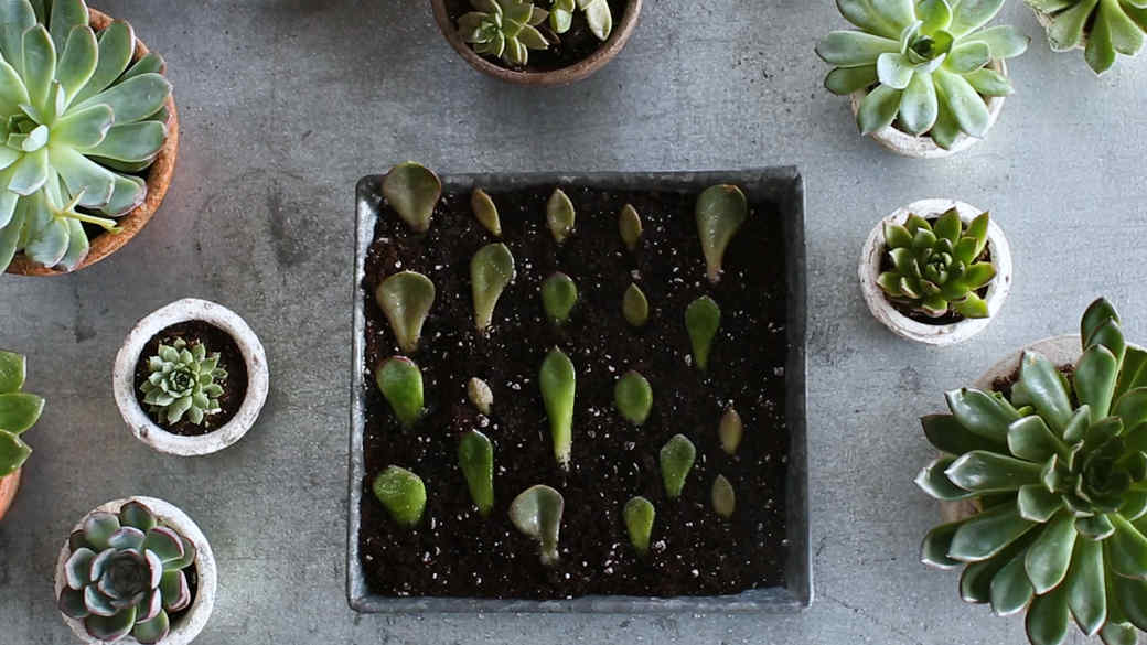How to Propagate Succulents Video Image