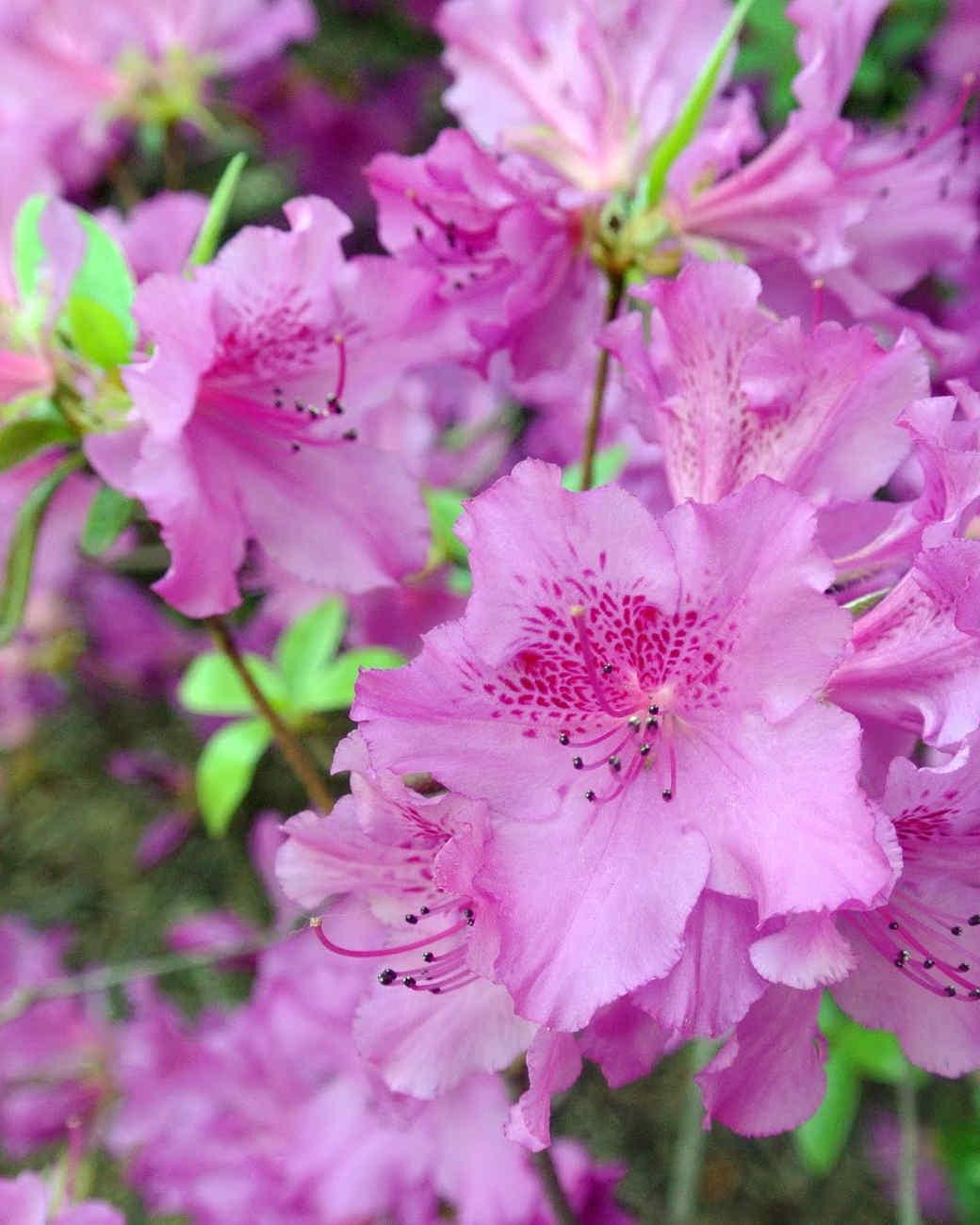 azaleas-liliacs-blog20-051515.jpg.jpg