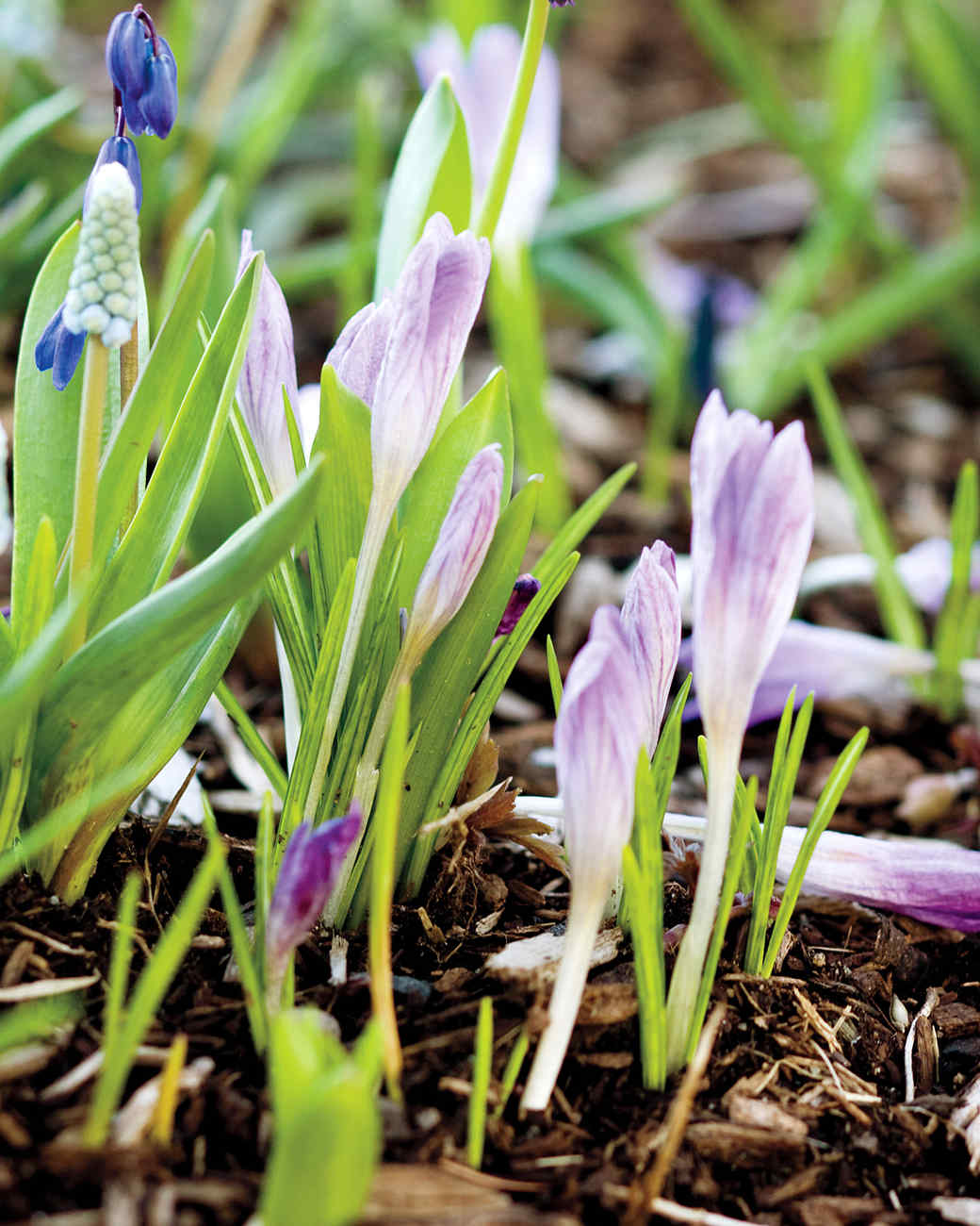 blue-flowers-bulbs-0911-mld107428.jpg