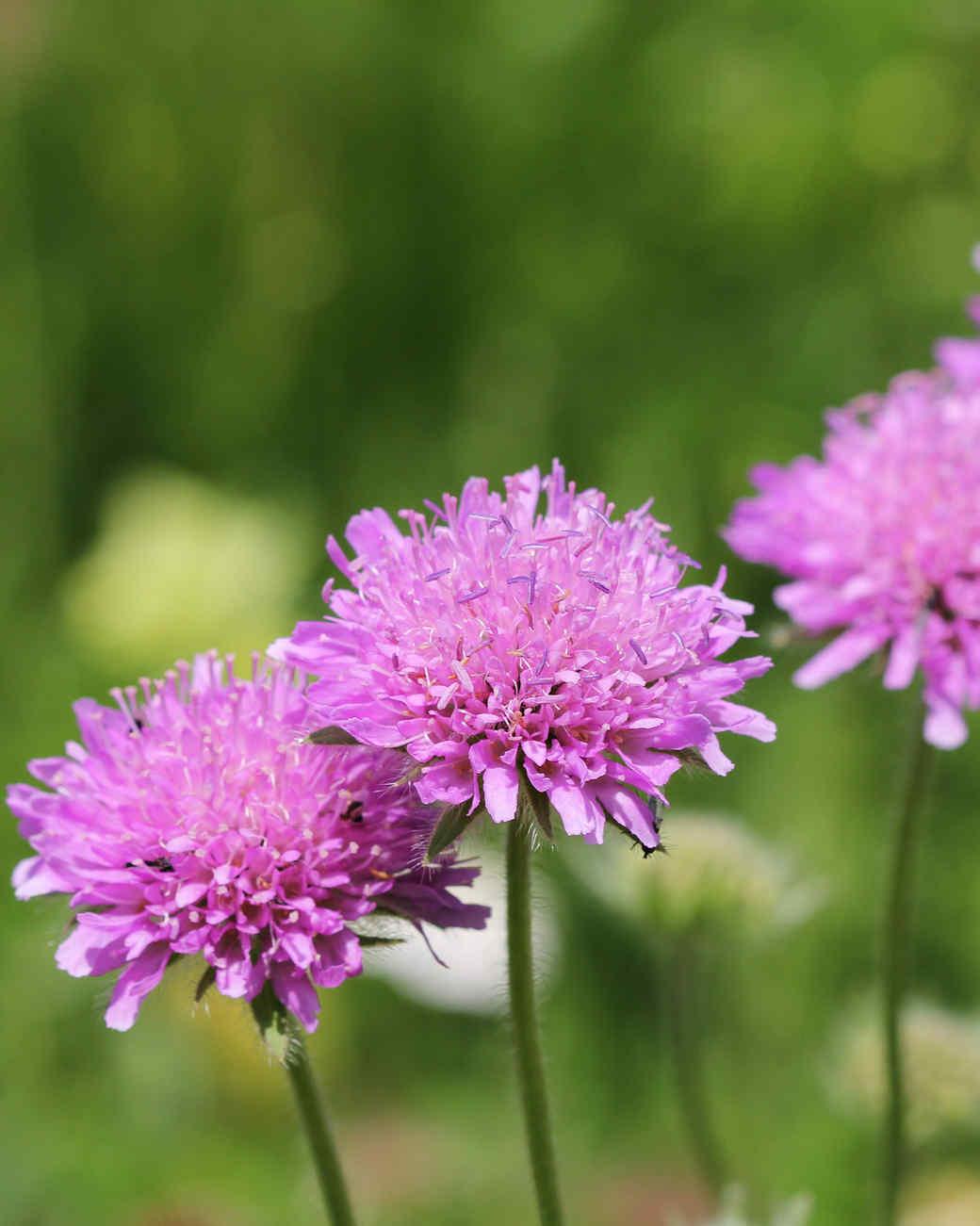 pink scabiosa flowers in grass