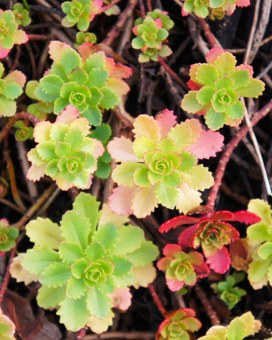 roseum succulents