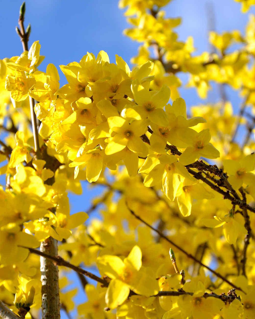 yellow forsythia tree