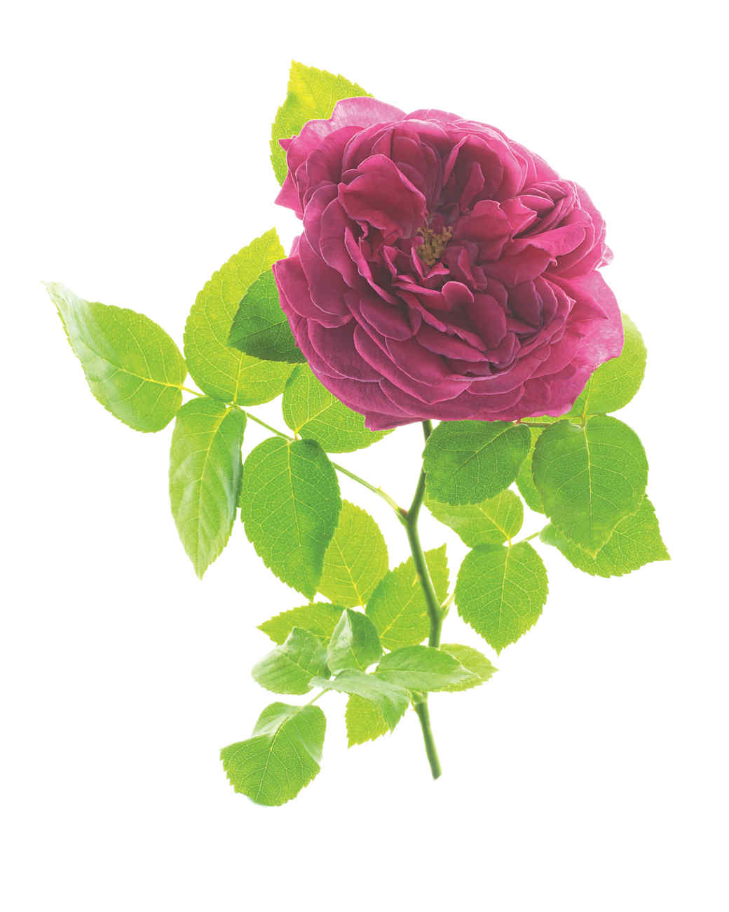 madame-isaac-pereire-rose-ms108508.jpg