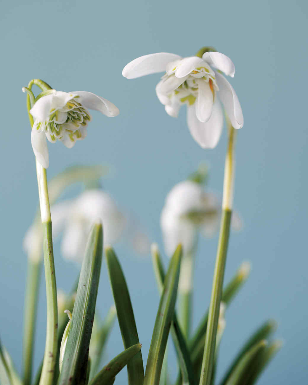 snowdrops-double-petaled-mld107313.jpg