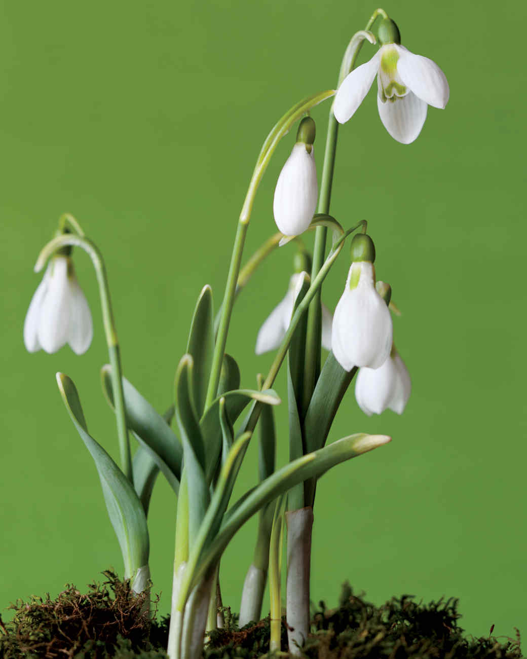 snowdrops-large-flowered-mld107313.jpg