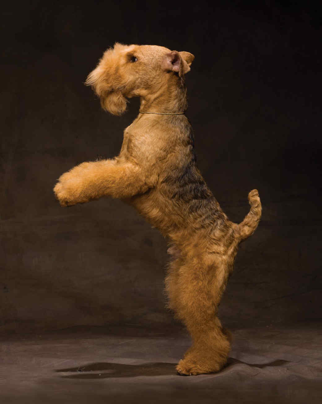 md105724_1110_lakelandterrier_00017.jpg