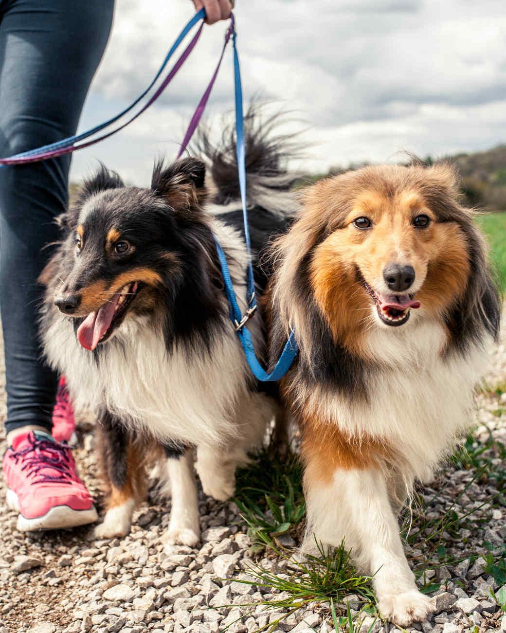 shepherd dogs walking on a leash