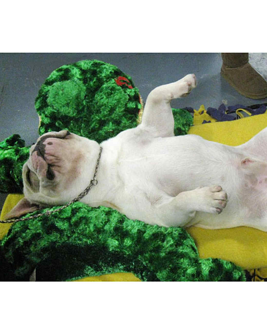 6104_021611_french_bulldog_exhausted.jpg