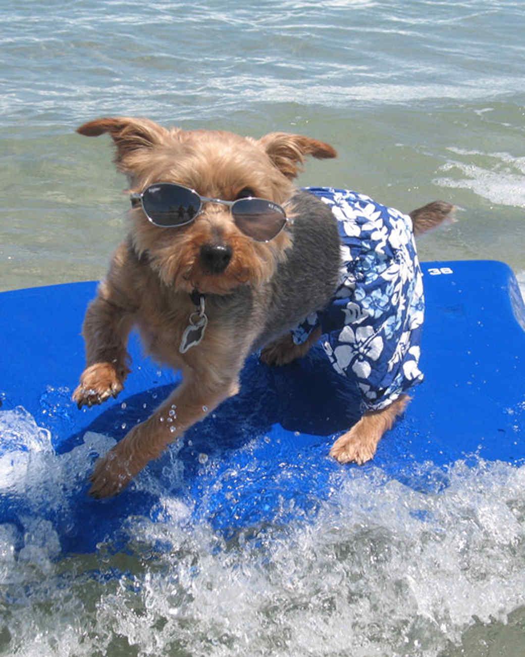 Image result for yorkie surf