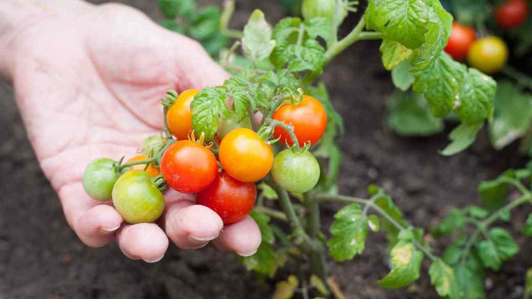 growing tomatoes in garden