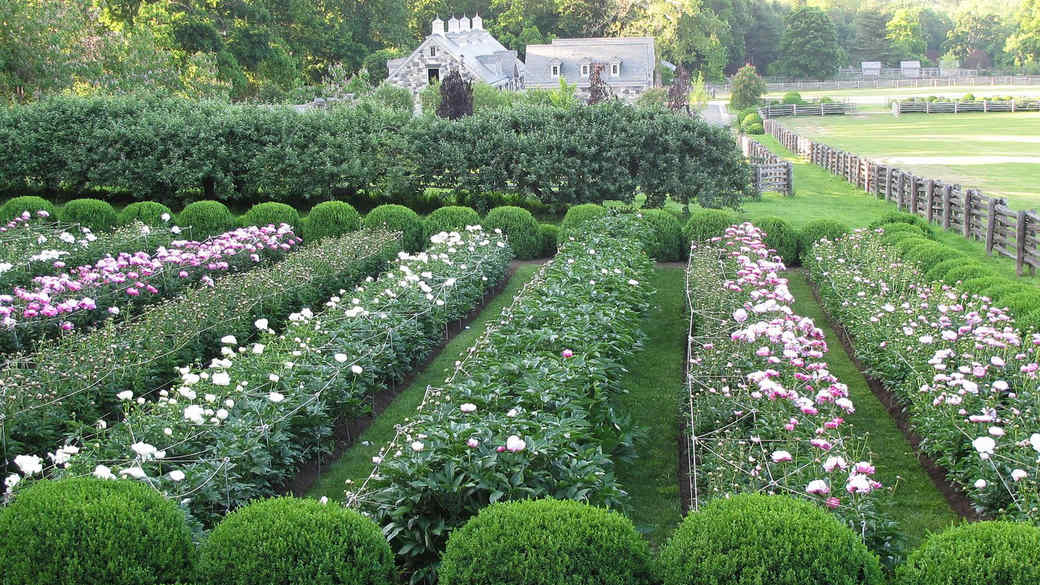 rows of pink roses in garden