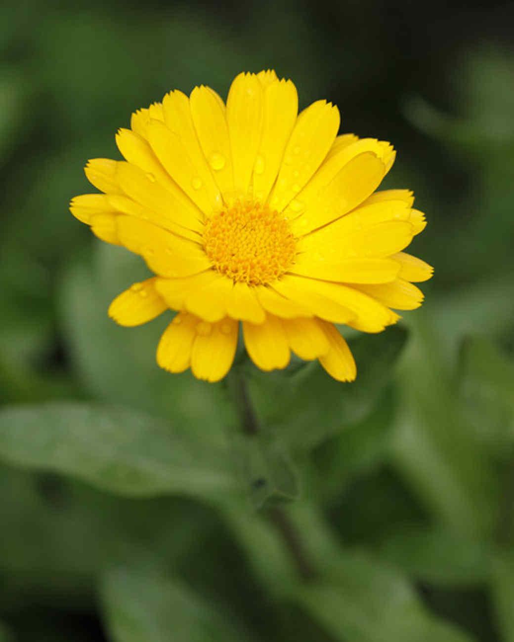 ms_edible_garden_mg_0441_pot_marigold.jpg