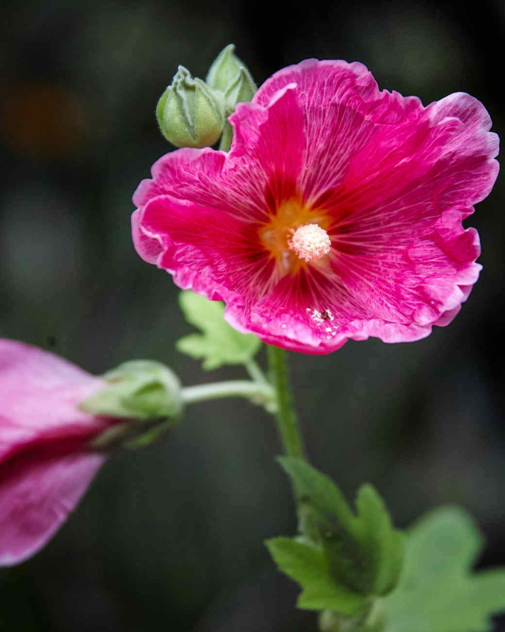 pink rose of sharon flowers