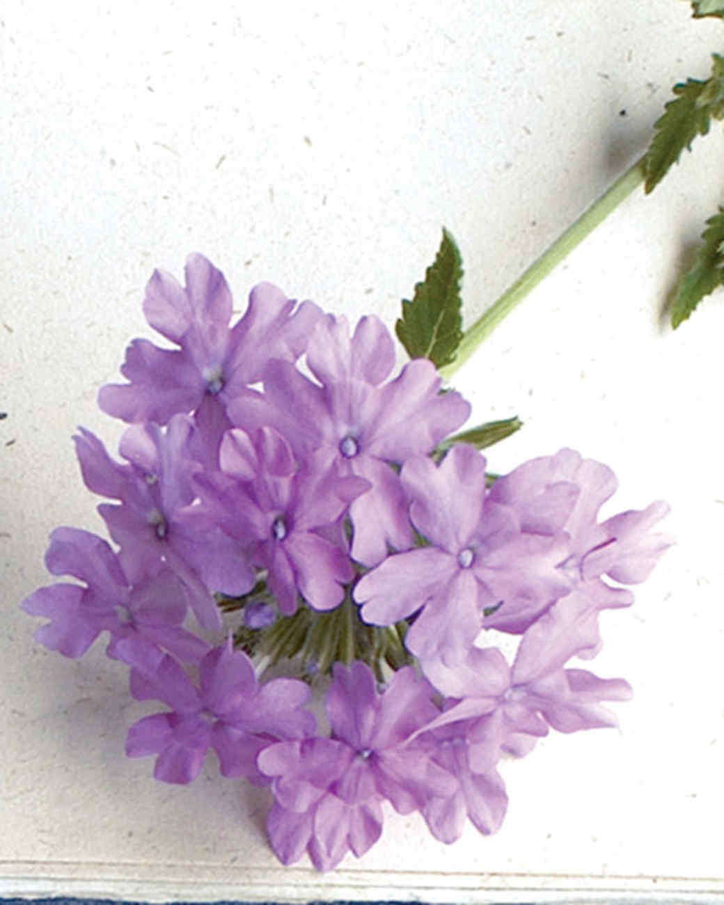 mld104318_0609_superbena_large_lilac_blue.jpg