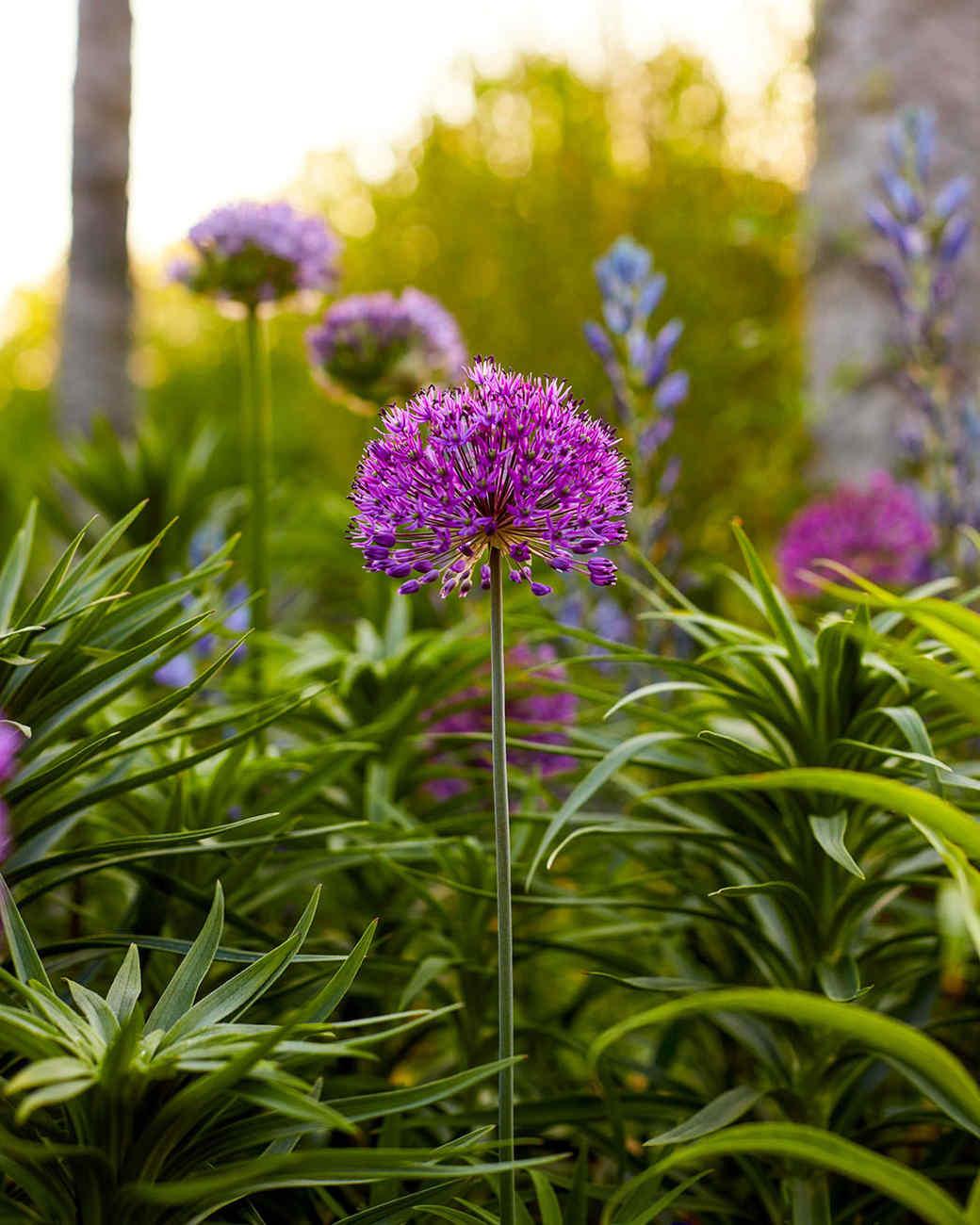 Purple Allium Growing in Martha Stewart Border Garden, Bedford New York