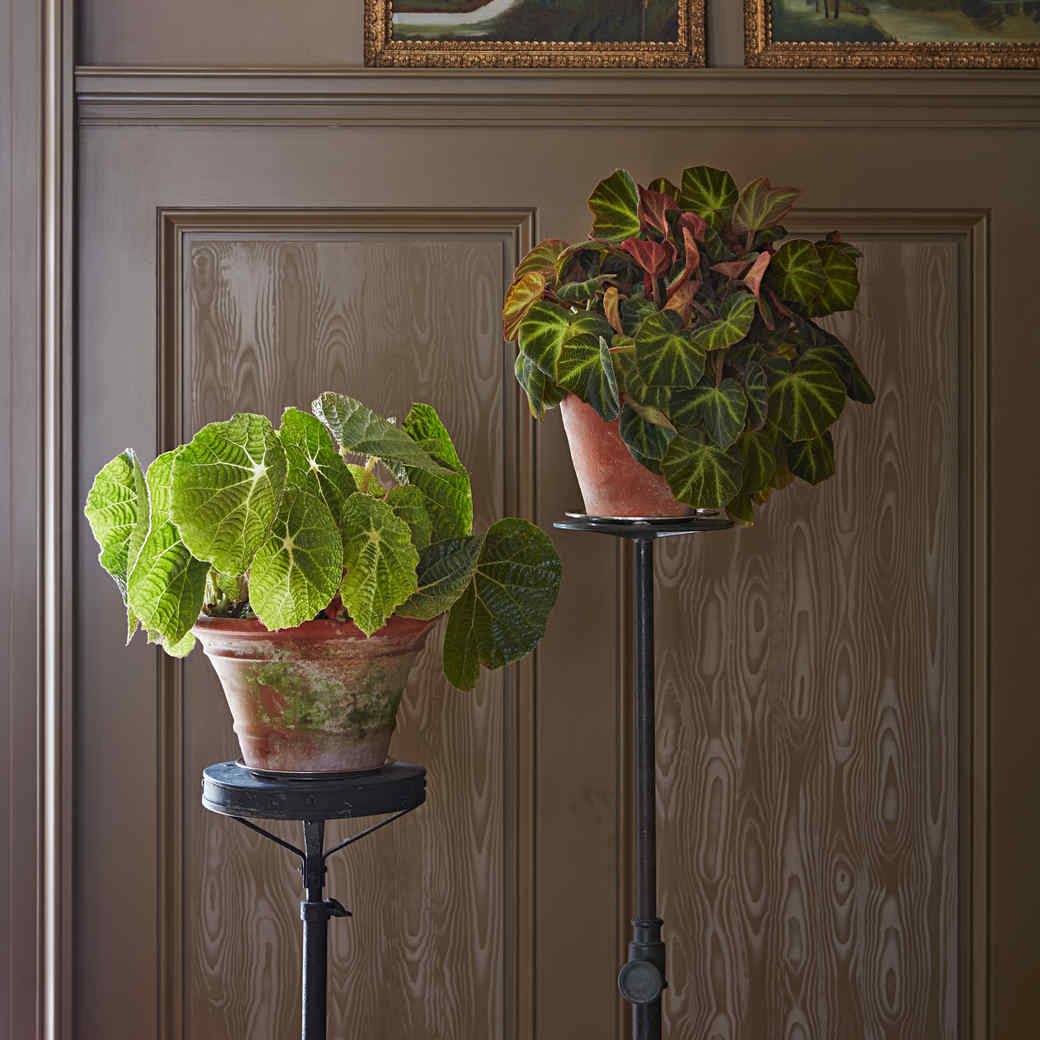 The Beauty Of Begonias Martha Stewart