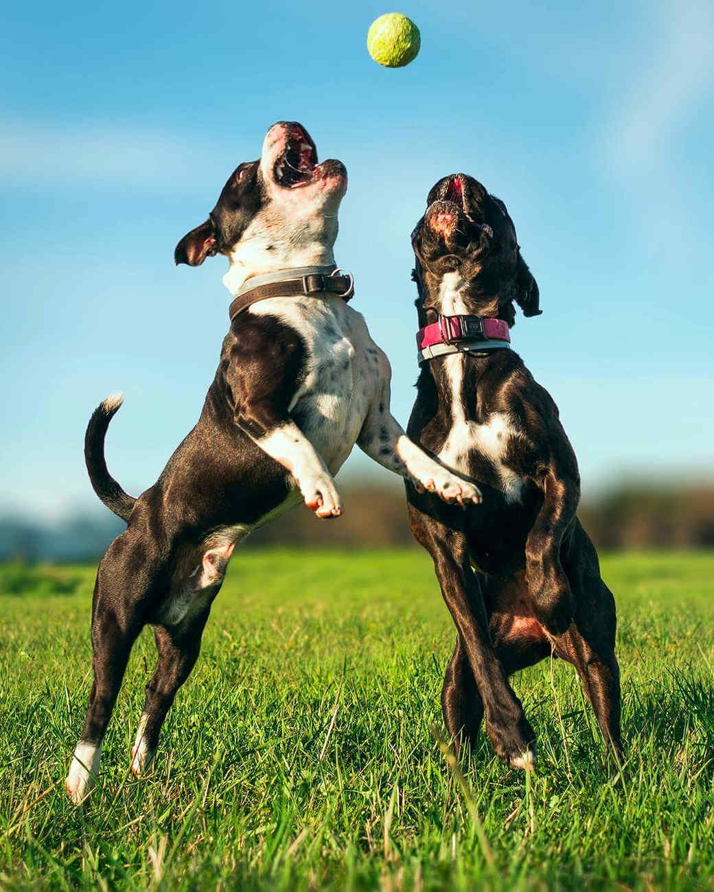 two dogs jumping for tennis ball outside