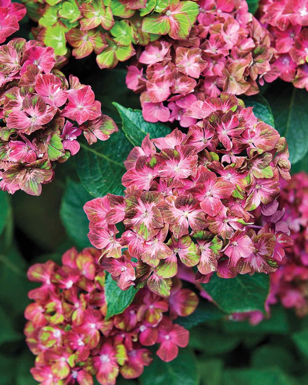 heckler-hydrangea-garden-522173aj-dsc6213-s111010.jpg