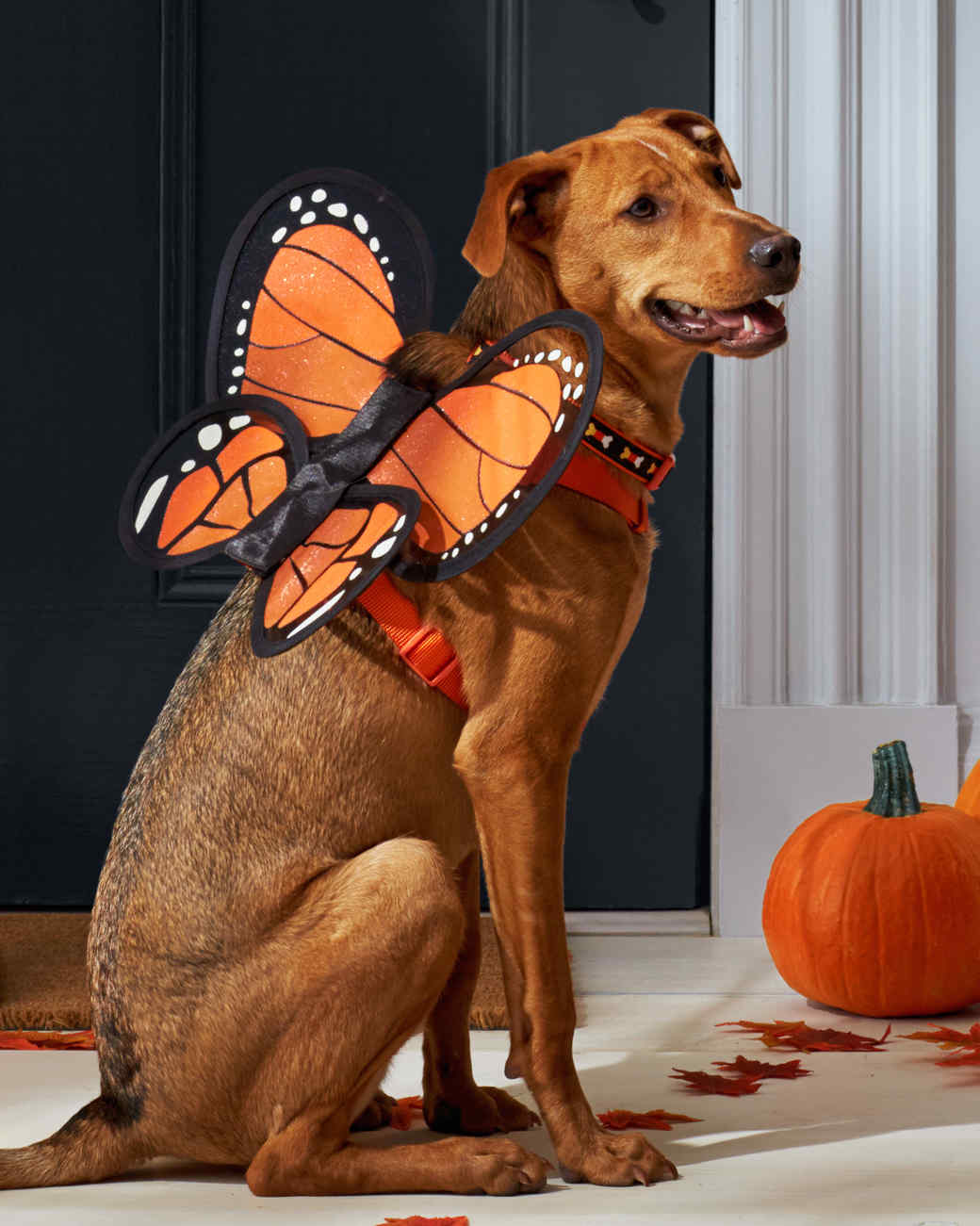 mspets-dog-halloween-butterflyharness-d112236-mrkt-0915.jpg