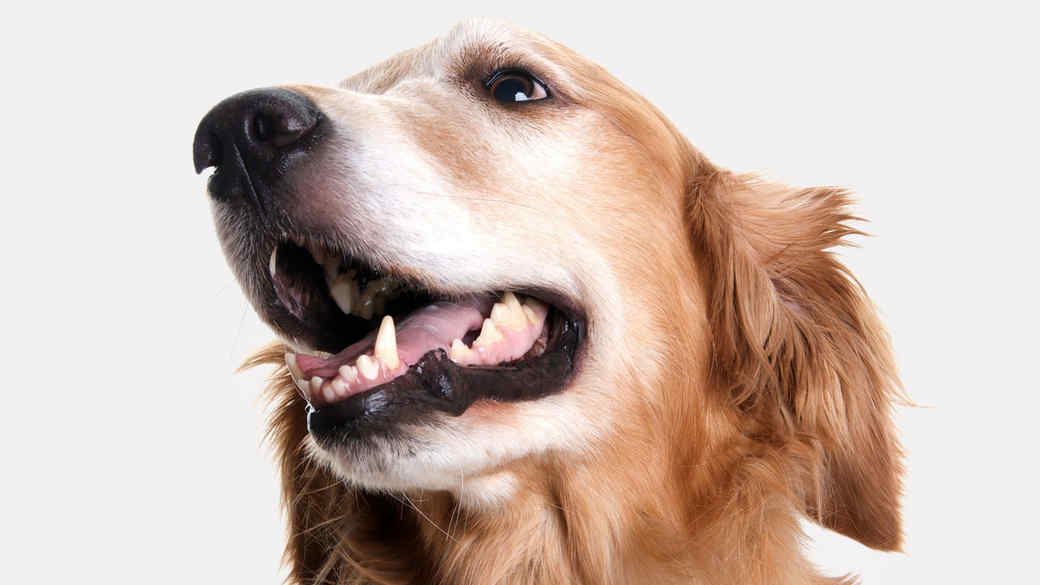 golden retriever dog looking to the side