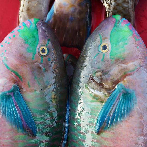 parrot-fish_sq.jpg