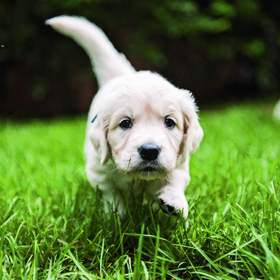 the dogist puppy running in grass