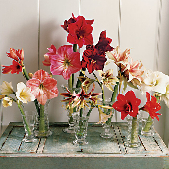 amaryllis flowers on a table