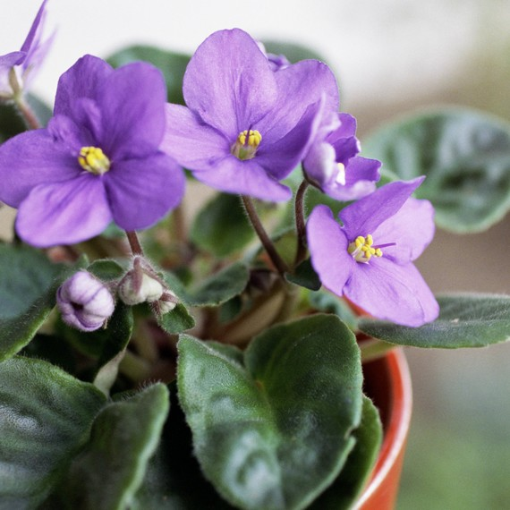 african violets - Flowering House Plants Purple