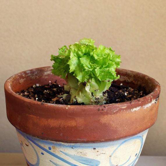 lettuce-pot-0315